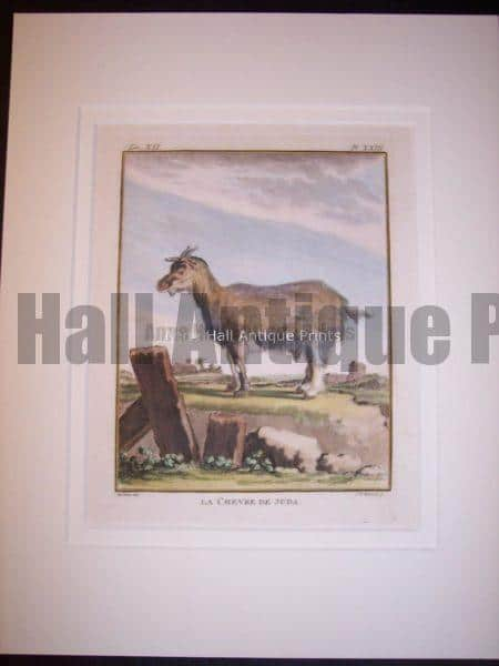 """Great French Country Decor!  Goats & Sheep  Old print by  Compte de Buffon,  Famous French Naturalist.  Lovely hand colored copper plate engraving of a sheep or a goat,  mat  beautifully to 11x14"""""""