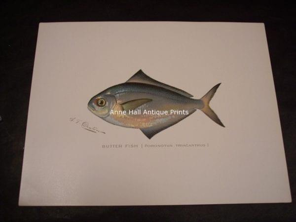 Denton Butter Fish Print