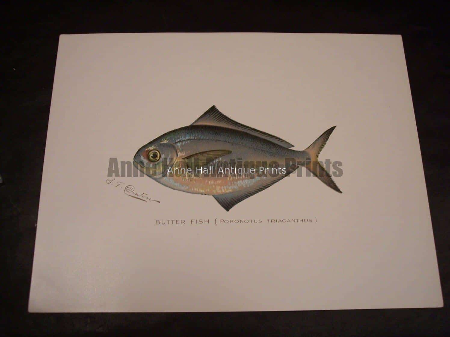 Denton Butter Fish Print