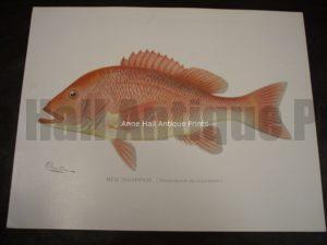 Denton Red Snapper Fish Print
