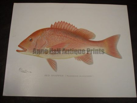 Denton Red Snapper Fish Print