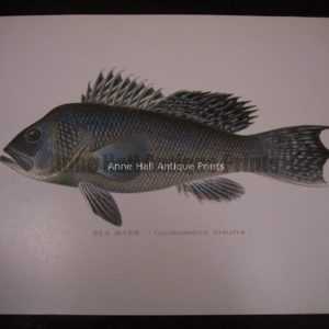 Denton Sea Bass Fish Print