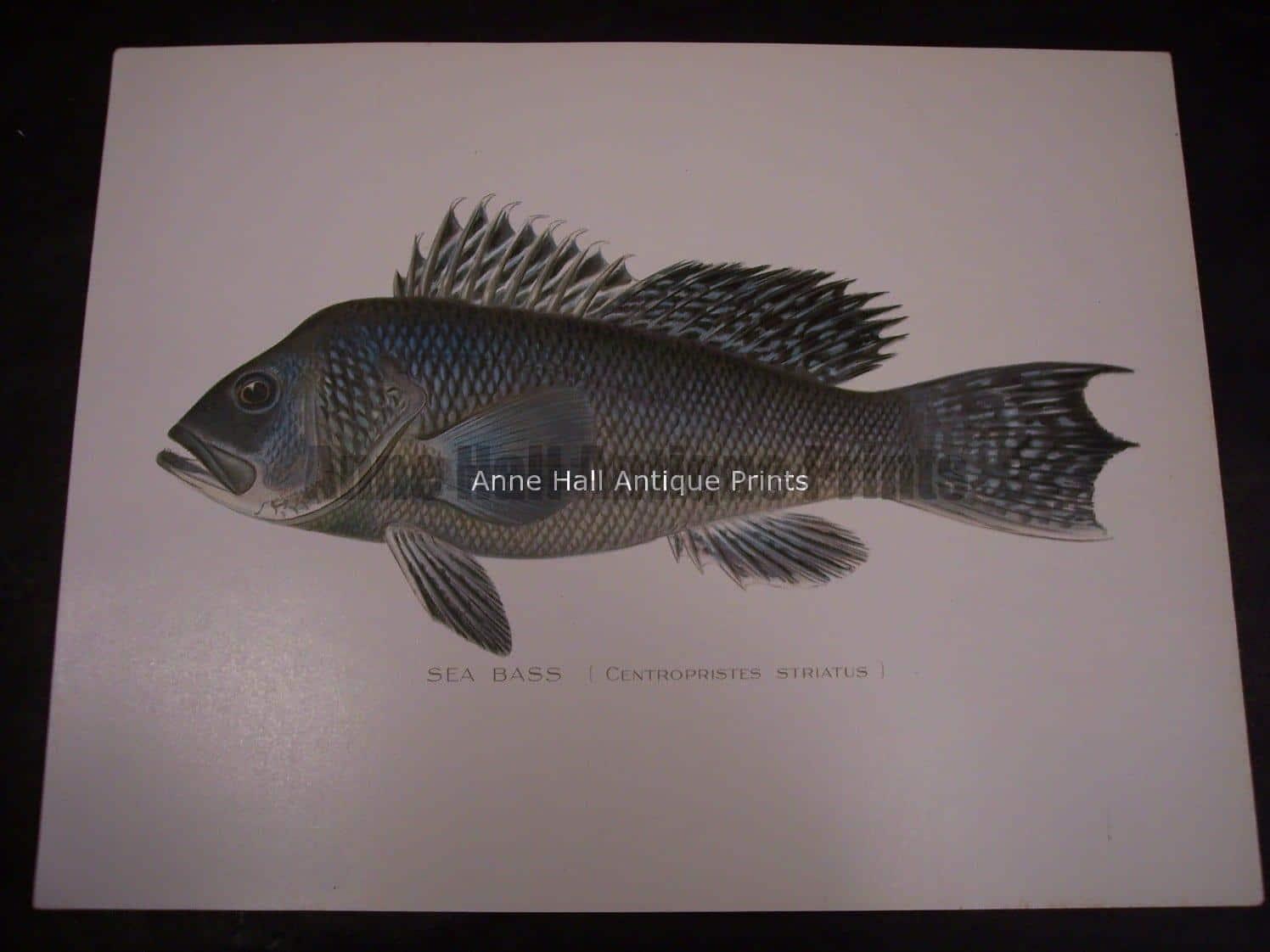 Denton Sea Bass Fish Print