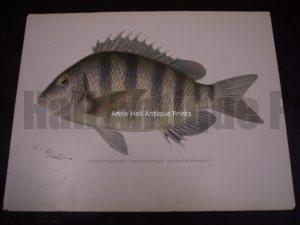Denton Sheepshead Fish Print