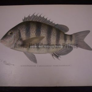 Denton Sheepshead Fish Print
