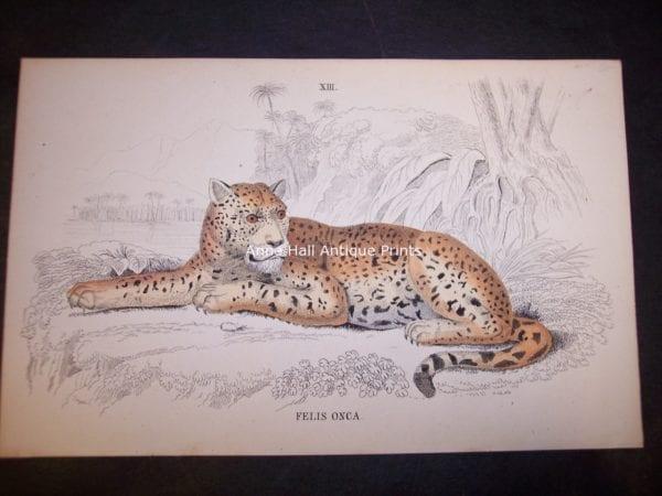 Old print by Lizar Big Cat Felis Onca. $85. 9859
