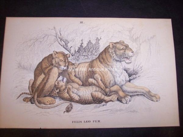 c.1860, original hand-colored Lizar engraving of Felis Leo Female Female lion with cubs $85. 9860