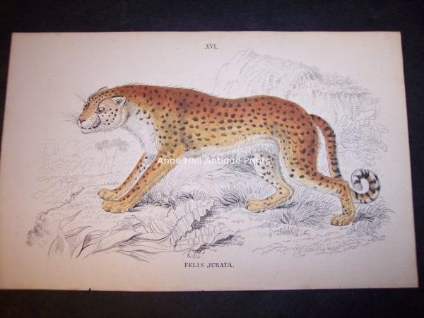 Old Lizar Engraving Big Cat Felis Jurata $75. 9861