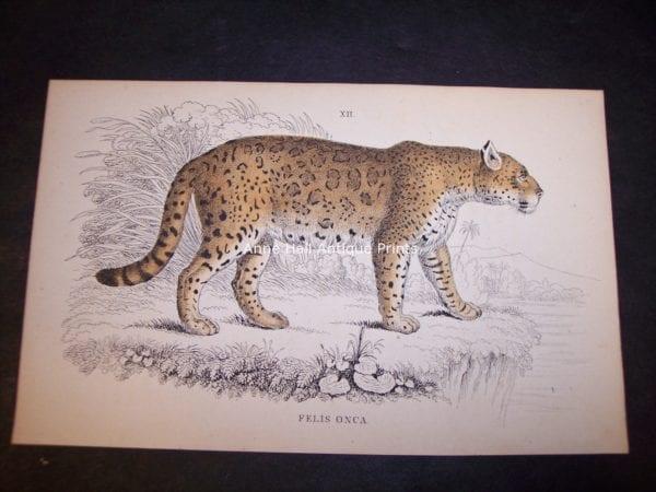 Old Lizar Print of Big Cat Felis Onca $85. 9862