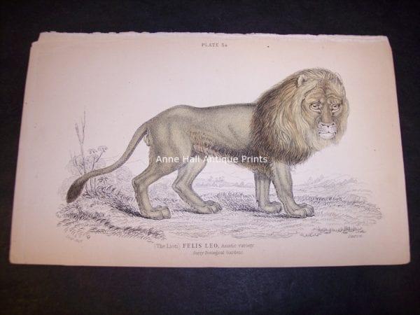 Old Lion engraving by Lizar Felis Leo, the male lion! Big Cat 9863 $85.