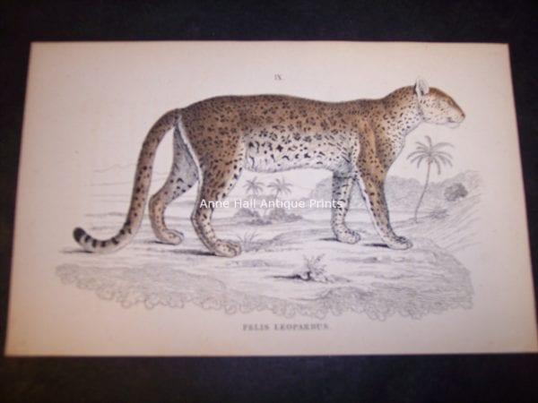 Lizar Big cat 9864. Fine antique engraving of Felis Leopardus or leopard. $75.