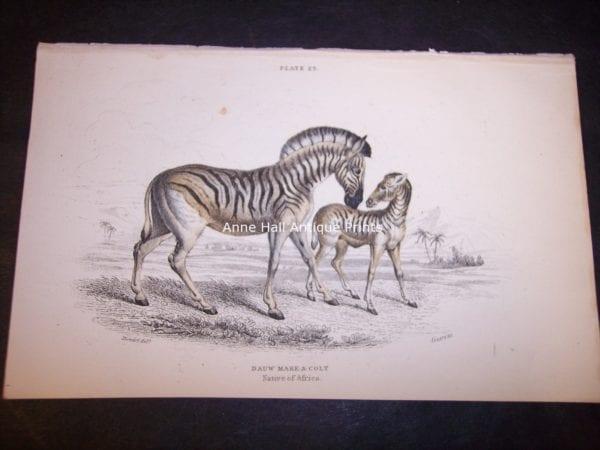 Lizars Zebra hand-colored engraving of female zebra and foal. 9865 Dauw Mare & Colt $85.