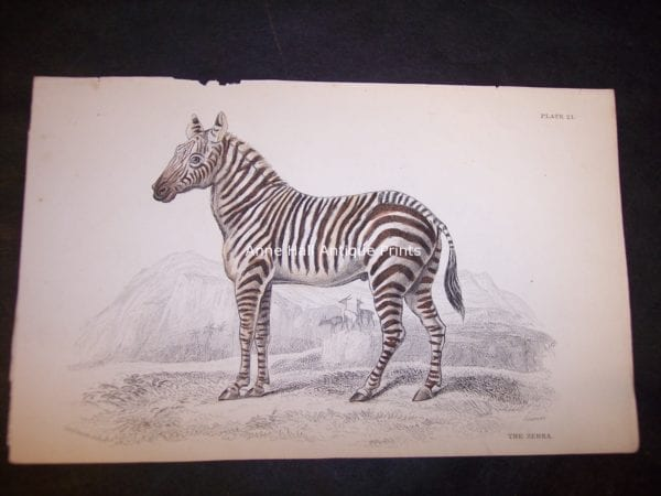 Antique print of Zebras! Small hand-colored steel plate engraving, including this zebra, were produced in Edinburgh, Scotland by William Lizars from c.1840-1875.