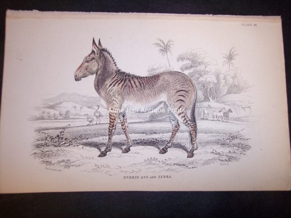 Old engraving of Zebra species by Lizars. HYBRID ASS & ZEBRA! $60.