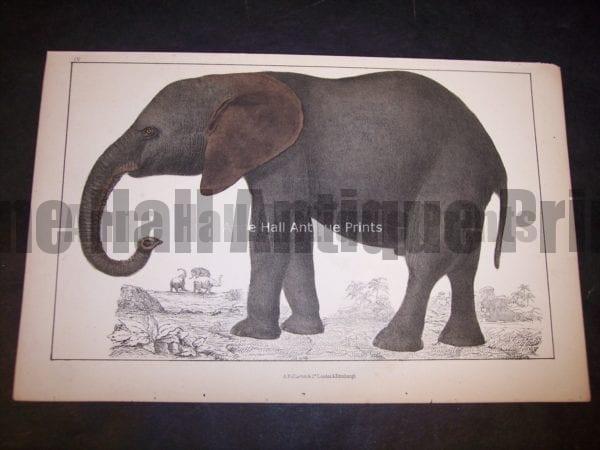 Old Elephant Engraving