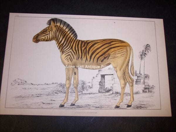 Old Zebra Engraving