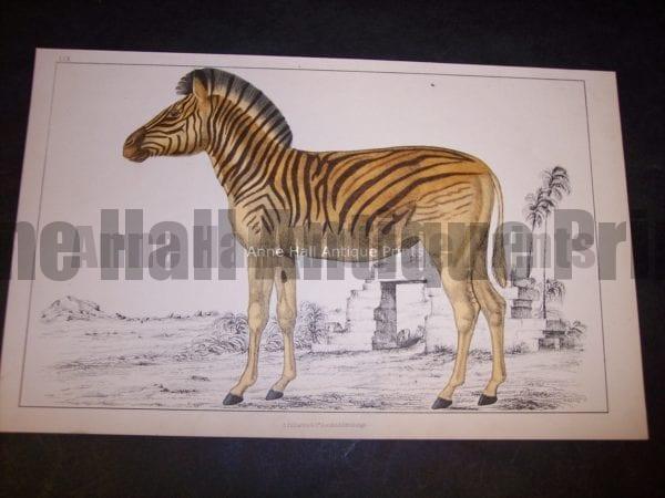 Old Zebra Engraving