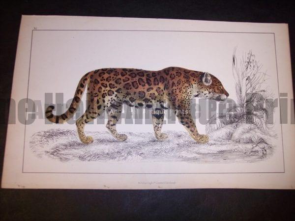 Big cat engraving