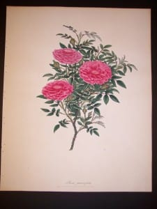 Andrews rose hand colored engraving from England c. 1800.