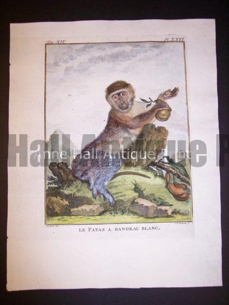 George Buffon Monkey Engraving Patas