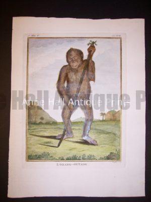 George Buffon Monkey Engraving Orangutan