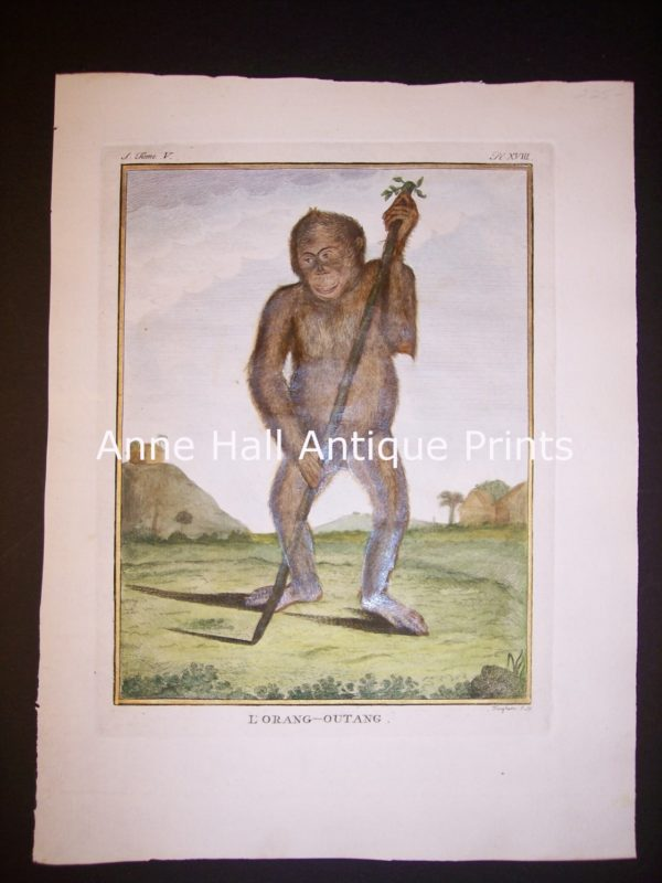 George Buffon Monkey Engraving Orangutan