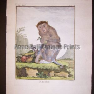 George Buffon Monkey Engraving Maimon