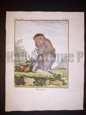 George Buffon Monkey Engraving Maimon