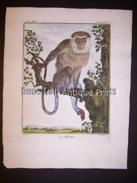 George Buffon Monkey Engraving La Mone