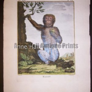 George Buffon Monkey Engraving VII Magot