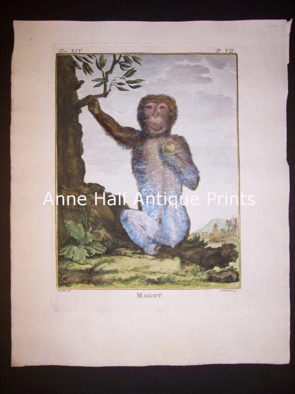 George Buffon Monkey Engraving VII Magot