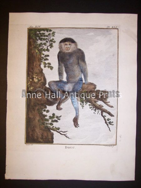 George Buffon Monkey Engraving XLI Douc