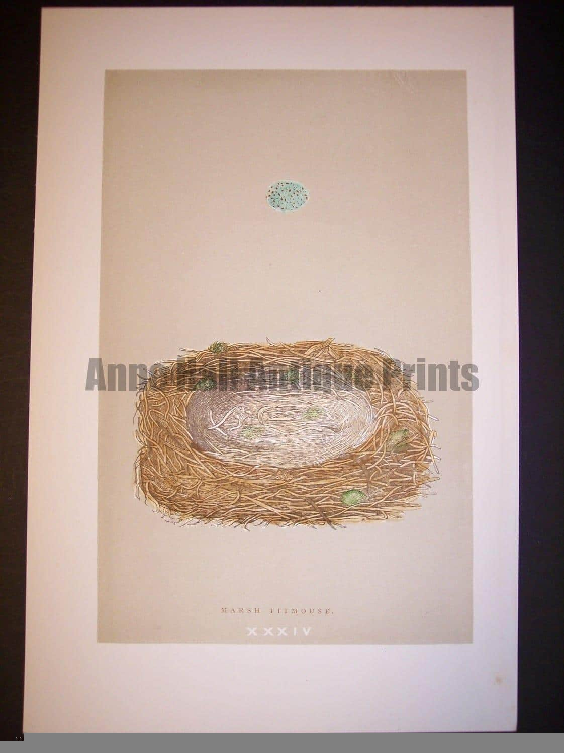 Reverend Morris Birds Nest Print  from 1890  #9958 Click here to buy now.