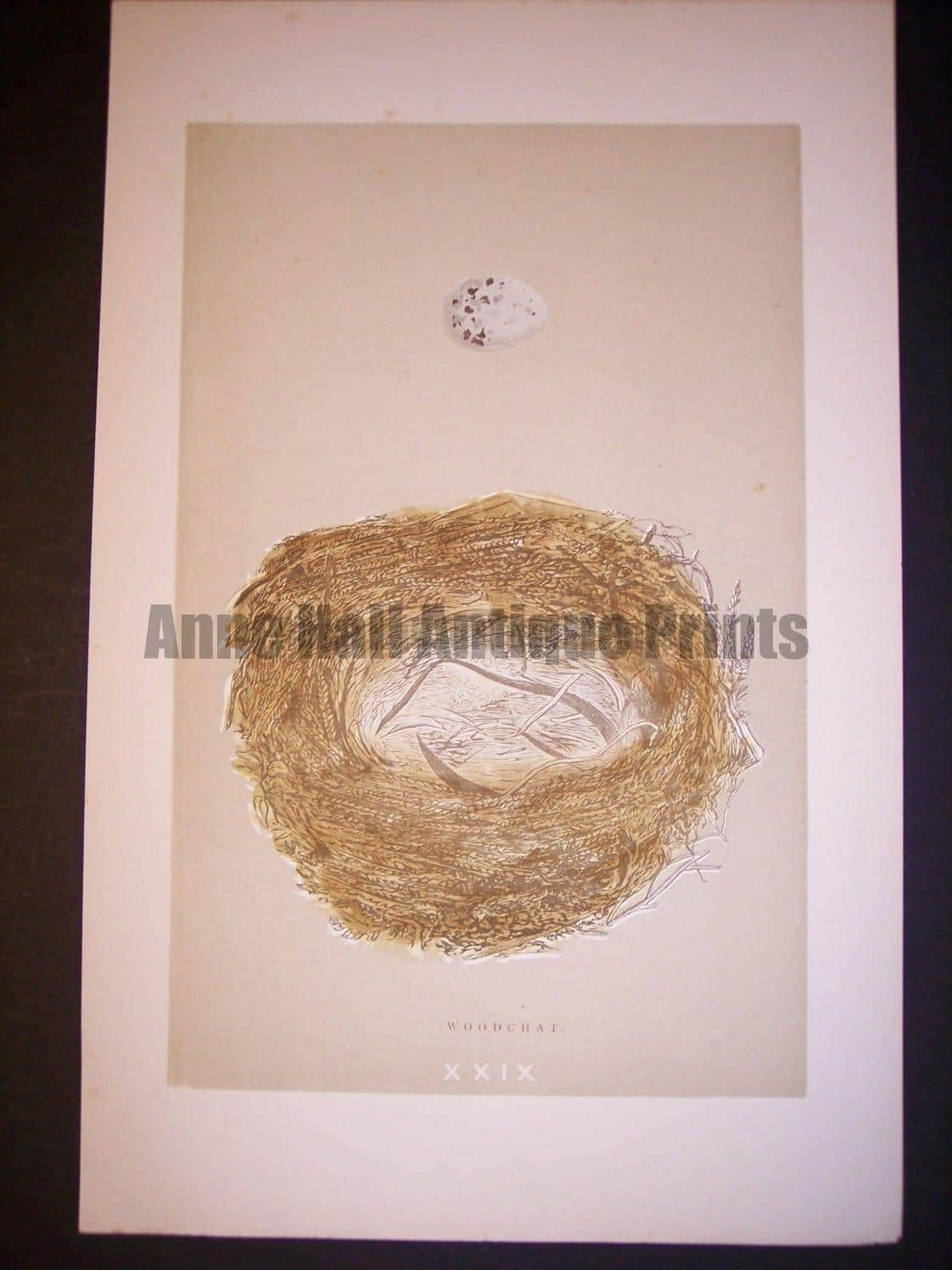 Reverend Morris Birds Nest Print  from 1890  #9959 Click here to buy now.