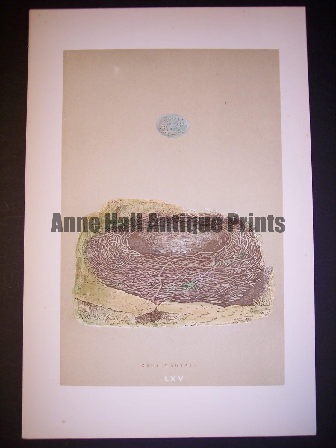 Reverend Morris Birds Nest Print  from 1890  #9960 Click here to buy now.