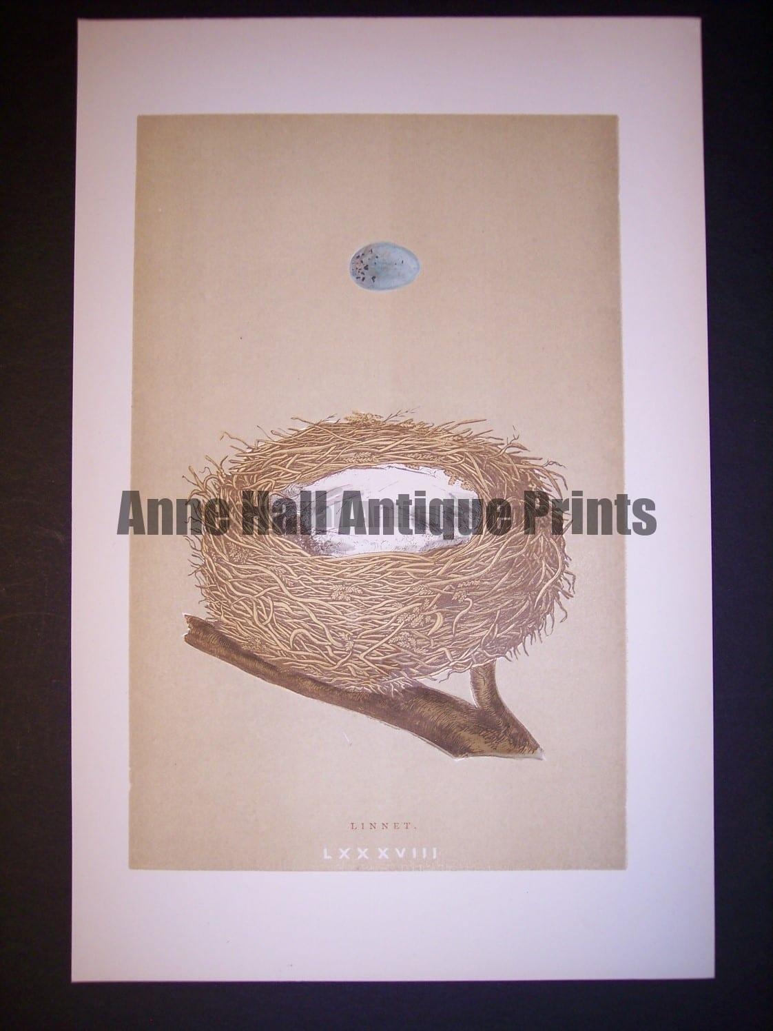 Reverend Morris Birds Nest Print  from 1890  #9961 Click here to buy now.