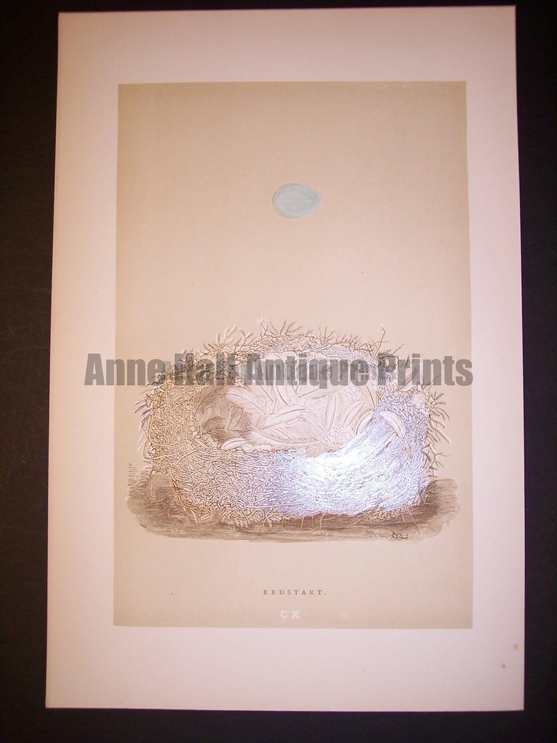 Reverend Morris Birds Nest Print  from 1890  #9966 Click here to buy now.