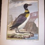 Great Northern Loon By Buffon 1749-1761 9969