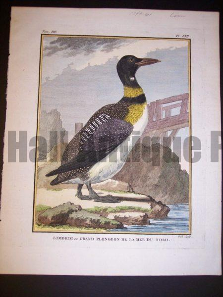 Great Northern Loon Buffon 1749-1761 9969