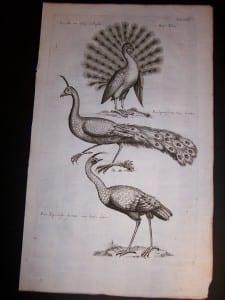 Peacock print by Mathias Merian 9970