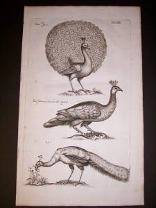 Peacock by Mathias Merian 9971