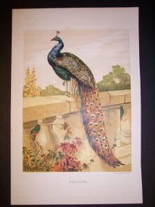 Great Peacock Chromolithograph 9972