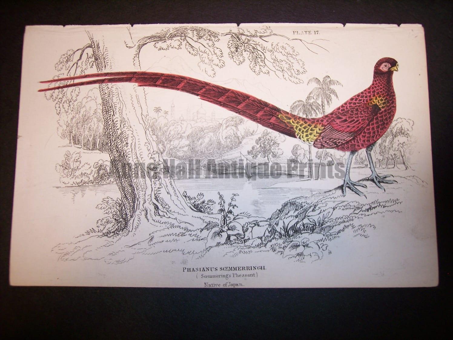 Lizar Pheasant 1840-1880 9973