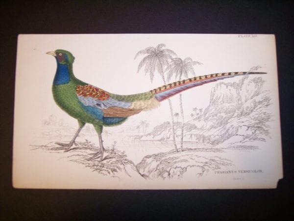 Lizar Pheasant 1840-1880 9974
