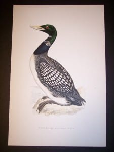 Loon water bird print by F.O. Morris 1890.  125.  9979