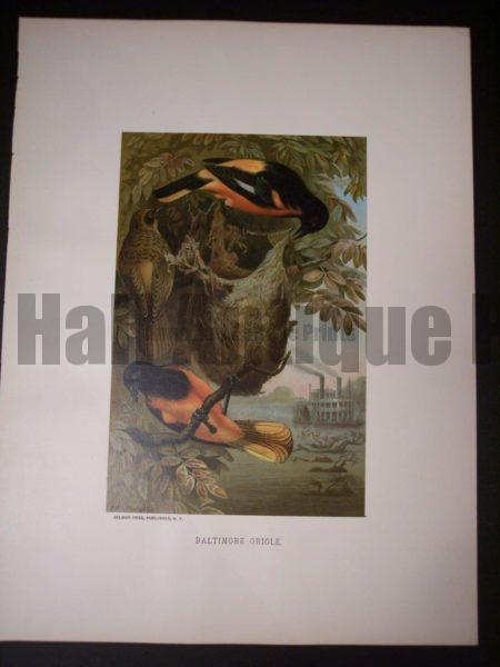 Baltimore Oriole by Prang 1885. 9980