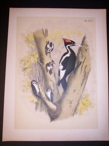 Ivory Billed Woodpecker c.1865 American Chromolithograph. #9982