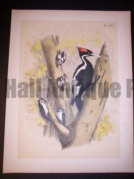 Ivory Billed Woodpecker c.1865 American Chromolithograph. #9982