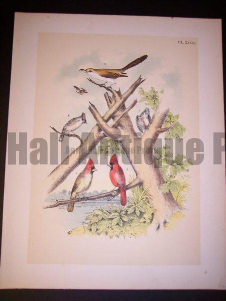 American Cardinals c. 1865 Studer #9983 100.
