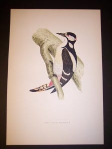 F.O. Morris Woodpecker Engraving from 1890.